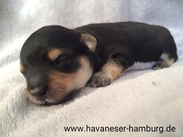 Havaneser Hamburg black and tan
