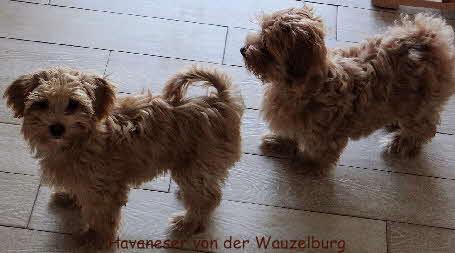 Jipsie und Joy von der Wauzelburg Havaneser-Hamburg